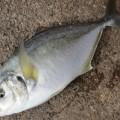 シマアジの釣り方7つの準備と攻略法
