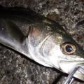 釣り初心者が学ぶシーバスタックル 6つの準備