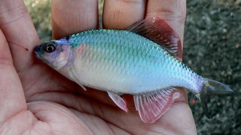 タナゴ釣り5つの魅力