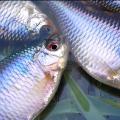 タナゴの釣り方とテクニックを6項目で解説